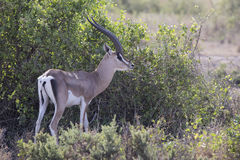 Adult male gazelle Grant who stands near a bush in savannah Royalty Free Stock Photography