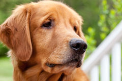 Adult Male Golden Retriever, Royalty Free Stock Photography
