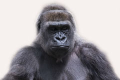 Adult male gorilla back silver Royalty Free Stock Photo