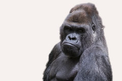 Adult male gorilla back silver Stock Photos