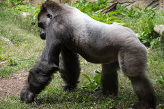 Adult male gorilla walking on grass Stock Photos