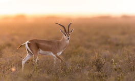 Adult Male Grant's Gazelle in the Serengeti, Tanzania Stock Image