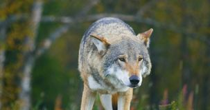 Large grey wolf smells after rivals and danger in the forest