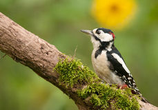 Adult male of the great spotted woodpecker. Poland,July.Adult male of the great spotted woodpecker sitting on the dead bough.In the background a yellow flower is Royalty Free Stock Photography