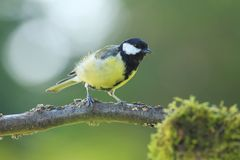 Adult male Great Tit (Parus major). Great Tit adult male on a branch in backlight with green background Royalty Free Stock Images