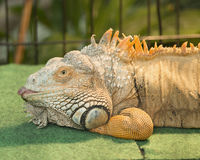 Adult male green iguana in captivity. In Houston, Texas with tongue sticking out Stock Photos