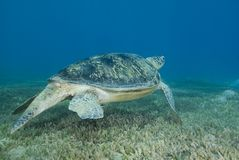 Adult male Green turtle swimming over seagrass. Royalty Free Stock Images