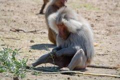 Adult male hamadryas baboon monkey sitting and eating bamboo lea. Ves royalty free stock photos