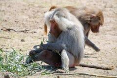 Adult male hamadryas baboon monkey sitting and eating bamboo lea. Ves royalty free stock images