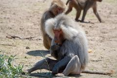 Adult male hamadryas baboon monkey sitting and eating bamboo lea. Ves stock photography