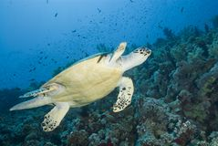 Adult male Hawksbill turtle swimming. Royalty Free Stock Photography