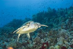 Adult male Hawksbill turtle swimming. Adult male Hawksbill turtle (eretmochelys imbricata) swimming close to a tropical coral reef. Thomas reef, Sharm el Sheikh Royalty Free Stock Images