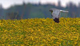 Adult male Hen Harrier in flight over the flowers of dandelion field stock photography