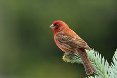 Adult Male House Finch. Close up of beautiful adult male House finch perched on the pine Royalty Free Stock Photo