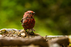 Adult Male House Finch Haemorhous mexicanus Royalty Free Stock Photography