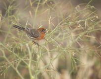 House Finch eating seeds stock photography