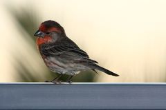 Adult male house finch on rail Stock Images