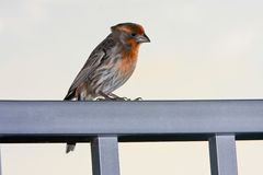 Adult male house finch on rail Stock Photos