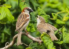An adult male house sparrow passer domesticus feeding a baby royalty free stock photos