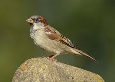 An adult male house sparrow passer domesticus royalty free stock photography