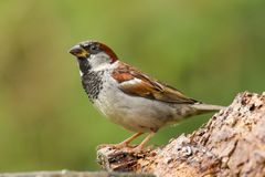 An adult male house sparrow passer domesticus royalty free stock photos