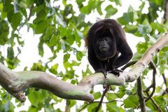 Adult male howler monkey Royalty Free Stock Image