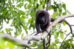Adult male howler monkey Stock Image