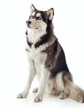 Adult male husky Stock Photography