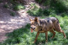 Adult male iberian wolf Royalty Free Stock Photos
