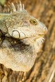 Adult Male Iguana Headshot Stock Photo
