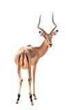 Male impala isolated. Adult male impala isolated on white background stock photo