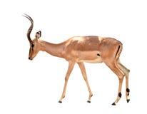 Adult male impala isolated. On white background stock images