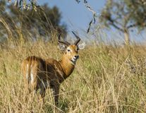Adult Male of Impala Stock Images