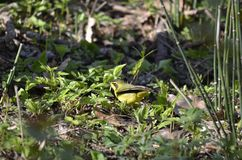 Adult male Kentucky Warbler royalty free stock image