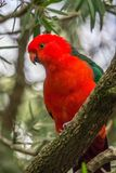 Wild Adult Male King Parrot, Queen Mary Falls, Queensland, Australia, March 2018. Adult Male King Parrot, Queen Mary Falls, Queensland, Australia, March 2018 royalty free stock image