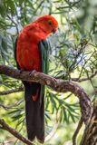Wild Adult Male King Parrot, Queen Mary Falls, Queensland, Australia, March 2018. Adult Male King Parrot, Queen Mary Falls, Queensland, Australia, March 2018 royalty free stock images