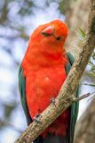 Wild Adult Male King Parrot, Queen Mary Falls, Queensland, Australia, March 2018. Adult Male King Parrot, Queen Mary Falls, Queensland, Australia, March 2018 royalty free stock photos