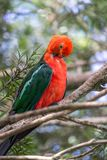 Wild Adult Male King Parrot, Queen Mary Falls, Queensland, Australia, March 2018. Adult Male King Parrot, Queen Mary Falls, Queensland, Australia, March 2018 stock photo