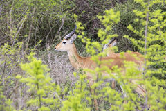 Adult male kob antelope standing in brush, Uganda. Male adult kob antelope standing in brush in Queen Elizabeth National Park, Uganda Stock Photos