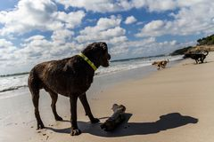 Adult male labrador watches as two young dogs play together at the beach. He watches jealous as 2 retrievers play together at the beach Stock Image