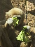 A male lar gibbon is eating a salad leaf Royalty Free Stock Image