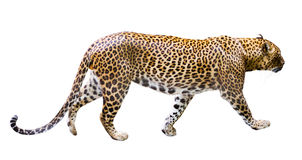 Adult male leopard Royalty Free Stock Photos