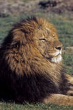 Adult Male Lion Laying Down Stock Photography