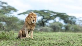 Adult Male Lion in the Ndutu Area of Tanzania Stock Photos