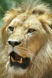 Adult male lion in portrait. Africa Royalty Free Stock Images