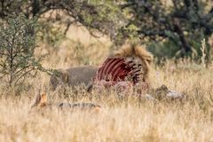Lion With Kill. An adult male Lion protecting his kill in Southern African savanna Stock Image