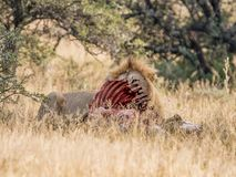 Lion With Kill. An adult male Lion protecting his kill in Southern African savanna Royalty Free Stock Images