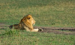 Adult male lion relaxing on dirt road. In savannah in Masai Mara national park, Kenya, Africa stock photography