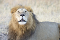 Adult male lion roaring Stock Photos