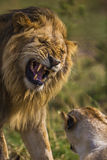 Adult male lion is roaring to other one. Royalty Free Stock Images